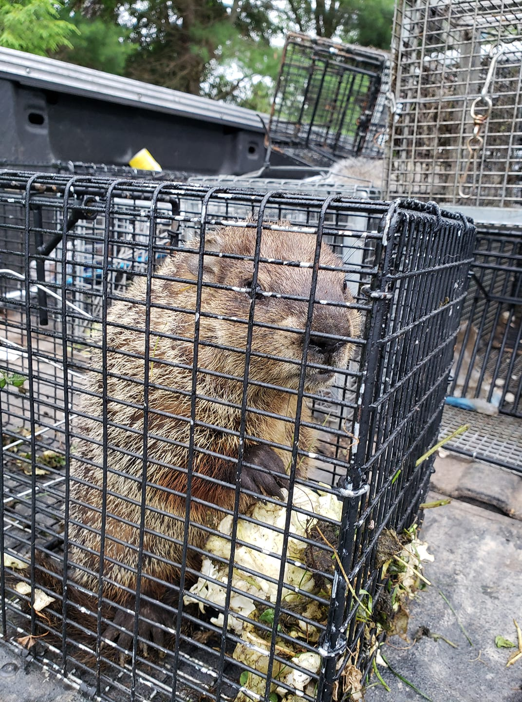 groundhog trapping Fairfield