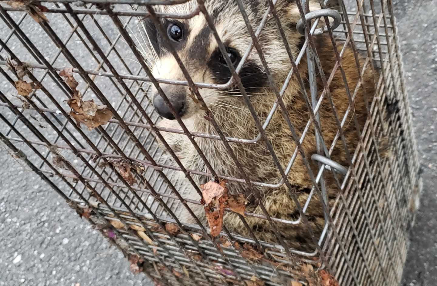 Raccoon Removal Stratford